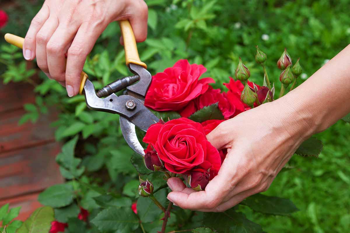 Rosen schneiden mit Gartenschere