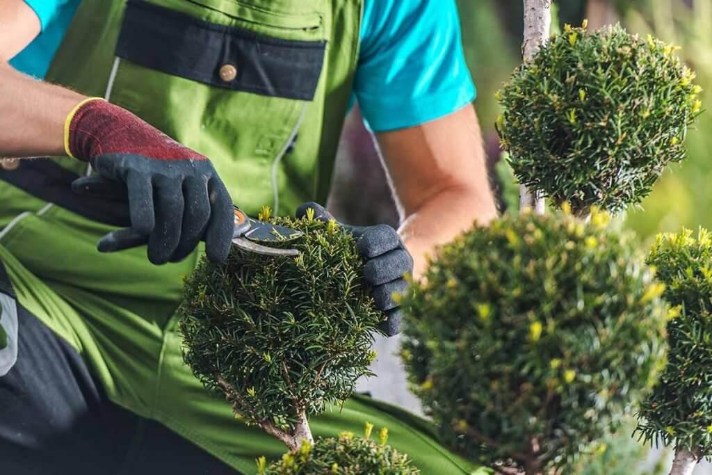 Mann schneidet Buchsbaeume mit Gartenschere