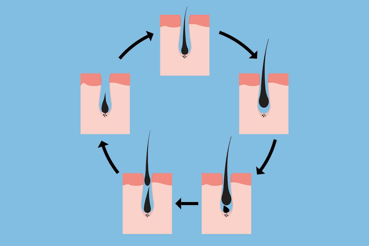 Wachstumszyklus eines Haares