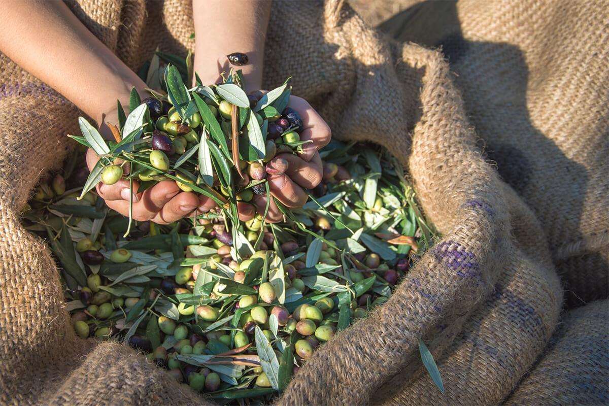 Olivenöl Harvested Fresh Olives